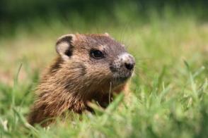 dia-de-la-marmota
