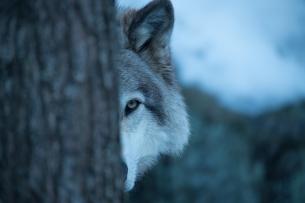 llop solitari